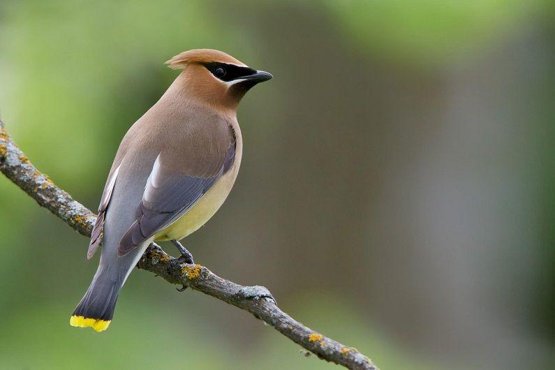 اسماء الطيور بالعربية و الانجليزية التجمع المغربي لعلم الطيور Cedar Waxwing Backyard Birds Bird