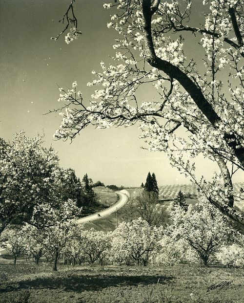 """Blossom Time"", near Salem, Oregon"