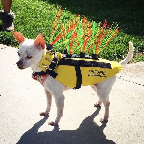 Coyotevest Body Armor Do You Walk Your Dog In Areas Where There