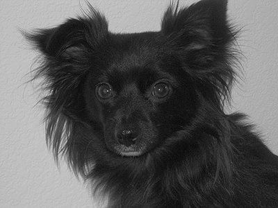 Chihuahua Pictures And Photos 6 Long Haired Chihuahua Chihuahua Black Chihuahua