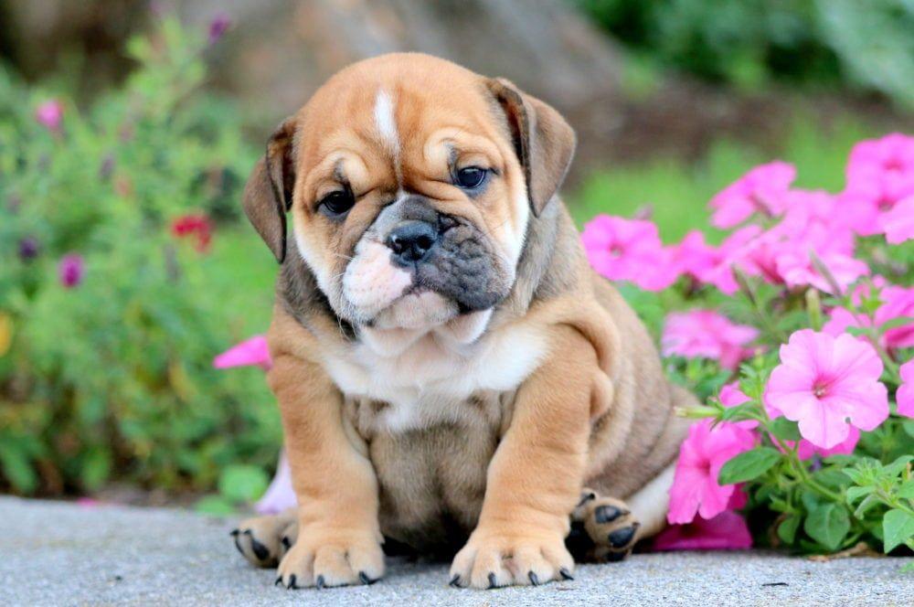 Jayla Bulldog Breeds Bulldog Puppies English Bulldog Puppies