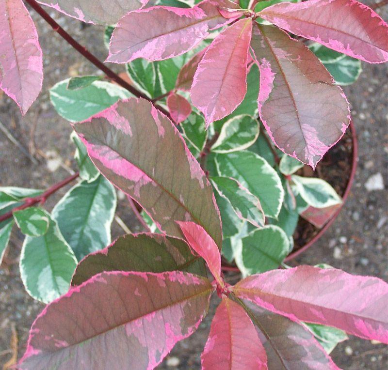 Photinia X Fraseri Pink Marble Variegated Online From Jacksons Nurseries