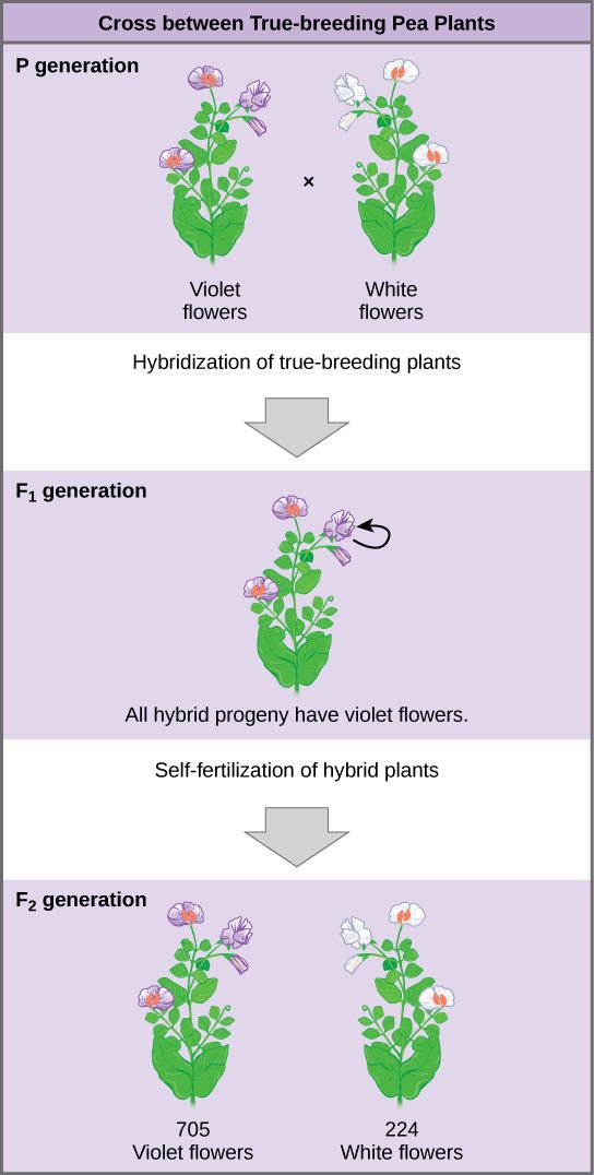 the diagram shows a cross between pea plants that are true-breeding for  purple flower color and plants that are true-breeding for white flower  color