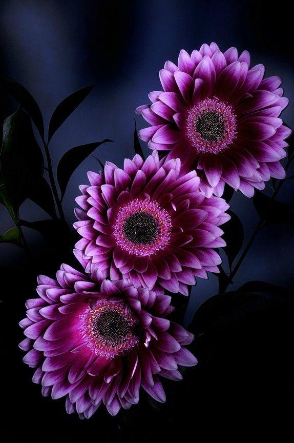 Gerbera Daisy非洲菊 大丁草 季節の生花種類 エキゾチックな花 紫色の花