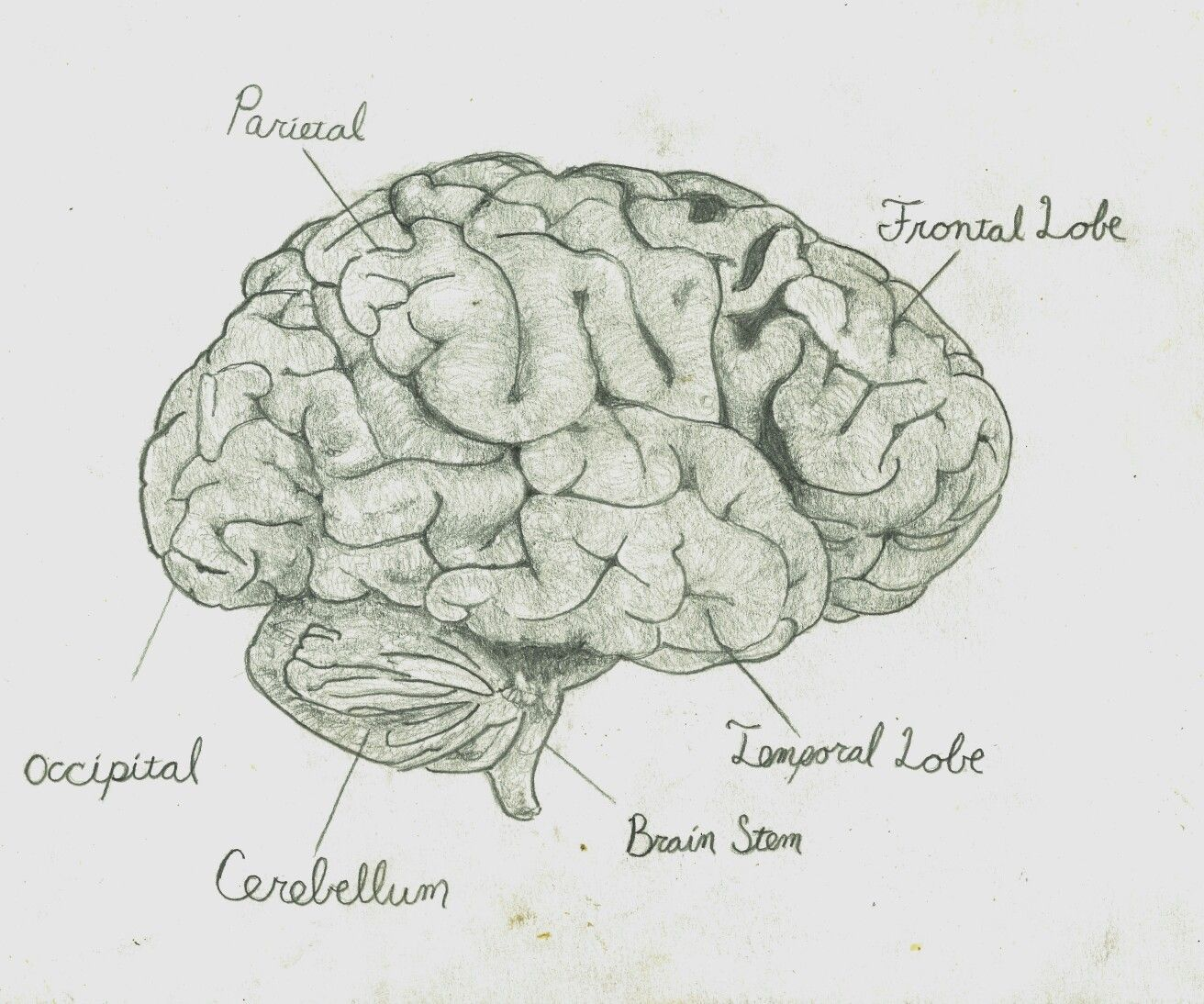 pencil drawing of a brain by Trevor Sim | Pencil drawings ...