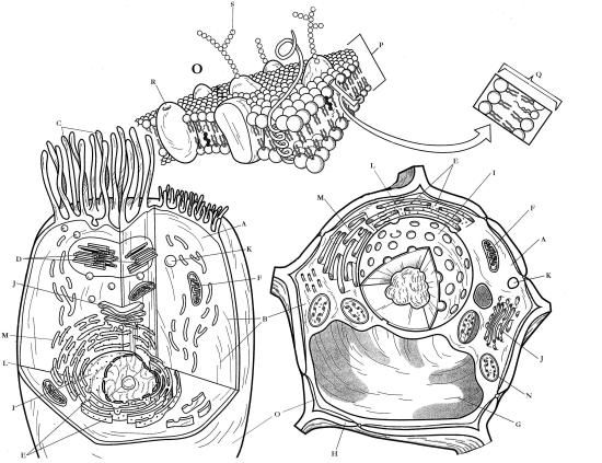 biology cell coloring pages | Bio B Cell Structures Coloring | Cell structure, Coloring ...
