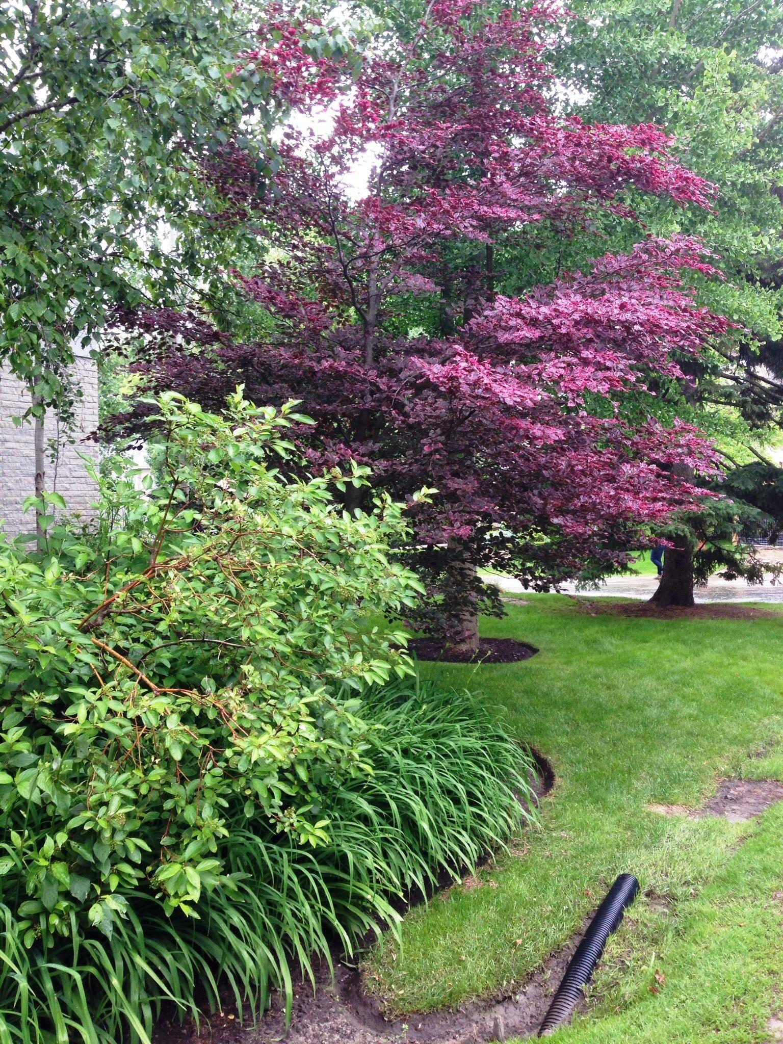 Tri-colour beech and ginkgo biloba trees in contemporary garden ...