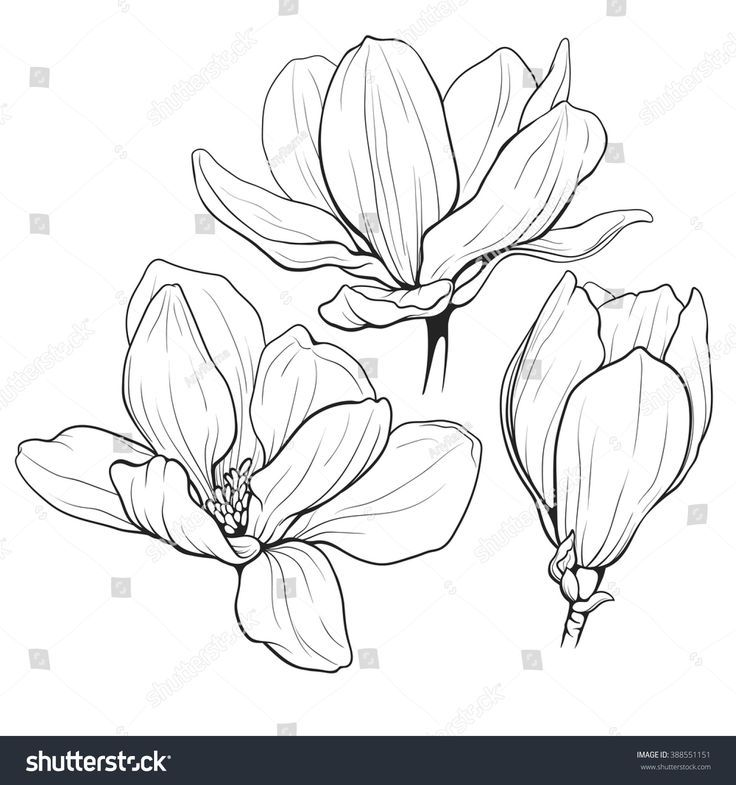 black and white line illustration of magnolia flow... - #background #Black #flow #Illustration #line #magnolia #White #cactuswithflowers