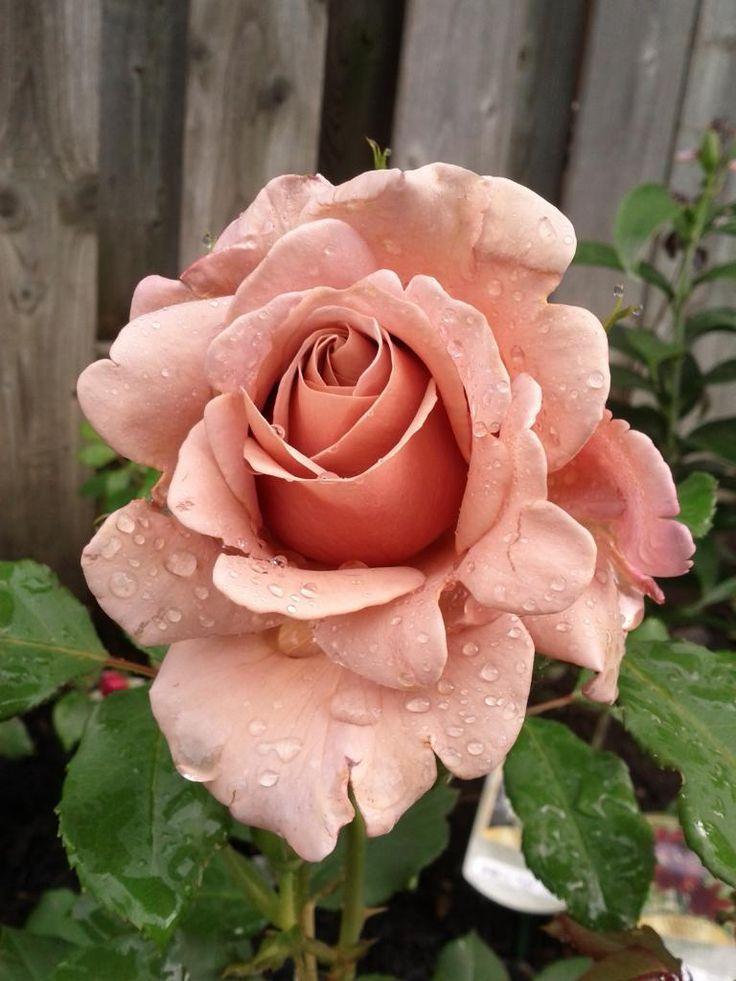 pin von franziska fischereder auf beautiful roses pinterest rosen blumen und sch ne blumen. Black Bedroom Furniture Sets. Home Design Ideas