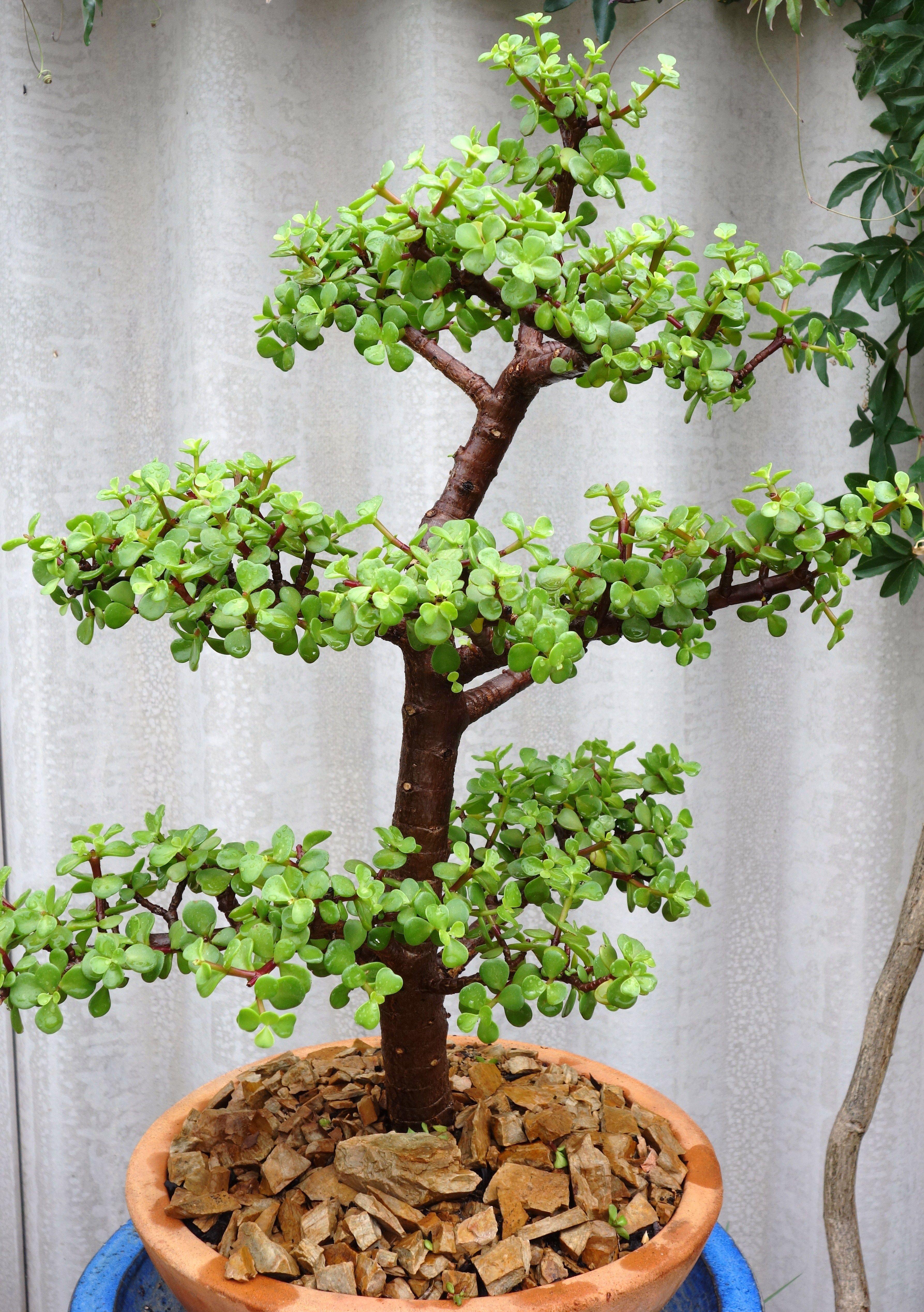 Pin On Dwarf Jade Bonsai