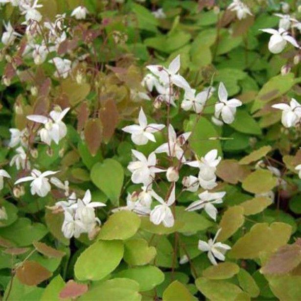 Epimedium+youngianum+niveum,+plante+des+elfes+blanc