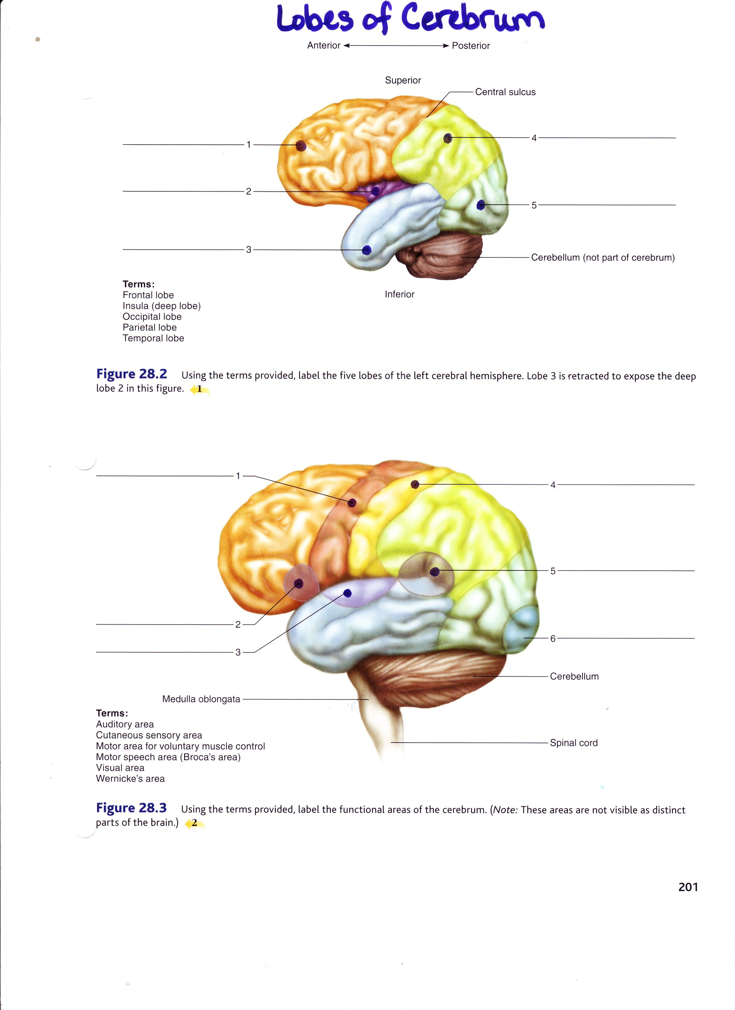 Anatomy Lab Models Brain Labeled Gallery Model Of The