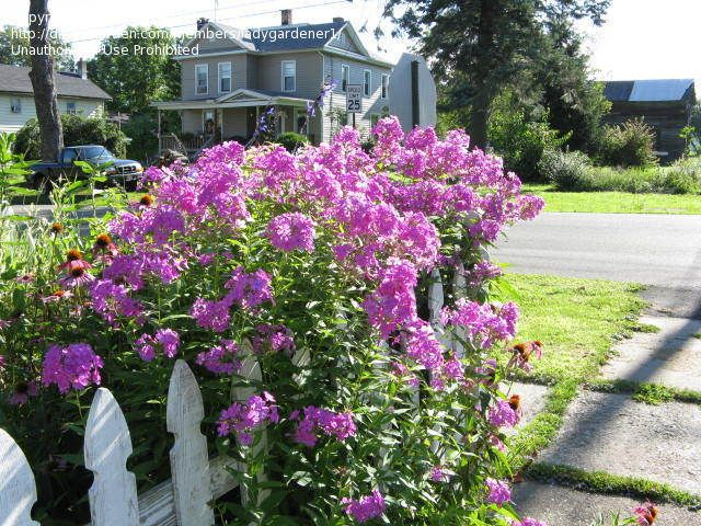 1000 images about Garden Phlox on Pinterest Gardens Pink