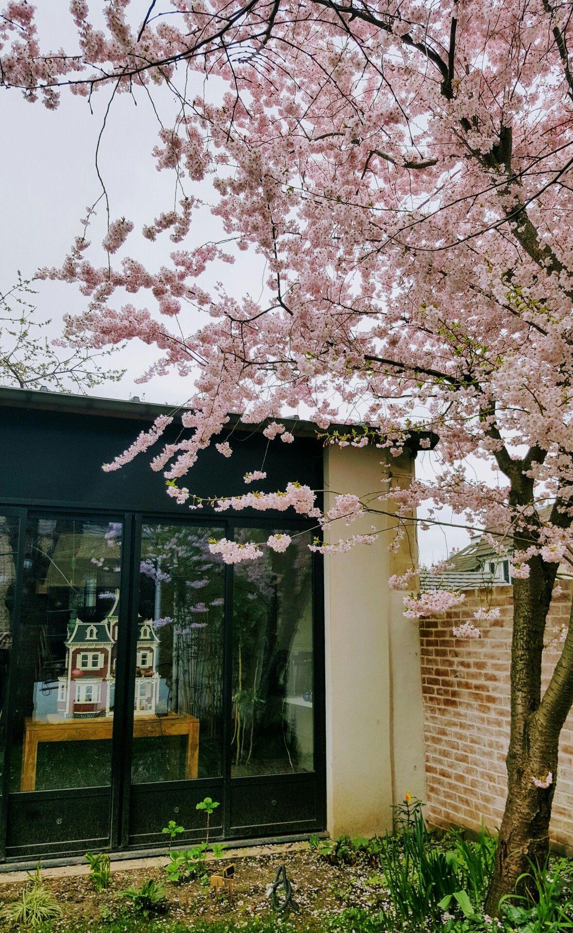 Cerisier Du Japon En Fleur Dans Le Jardin D Une Maison Loft