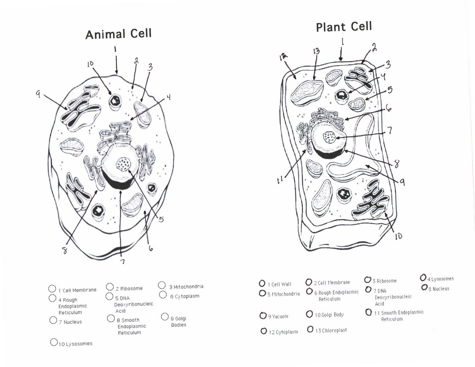 Animal Cell Coloring Answers And Plant Cell