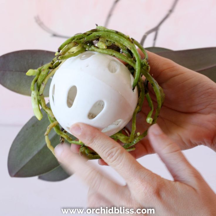 Learn the Japanese Art of Kokedama  Step By Step Tutorial is part of Orchid plants, Hanging orchid, Repotting orchids, Orchids, Orchids garden, Growing orchids - Kokedama in a nutshell traditionally, a plant's roots are encased in a ball of soil, which is covered with a layer of moss, forming a sphere  DIY kokedama