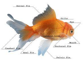 Goldfish-diagram.bmp (792×576) | Goldfish, Fish pet, Koi pondPinterest