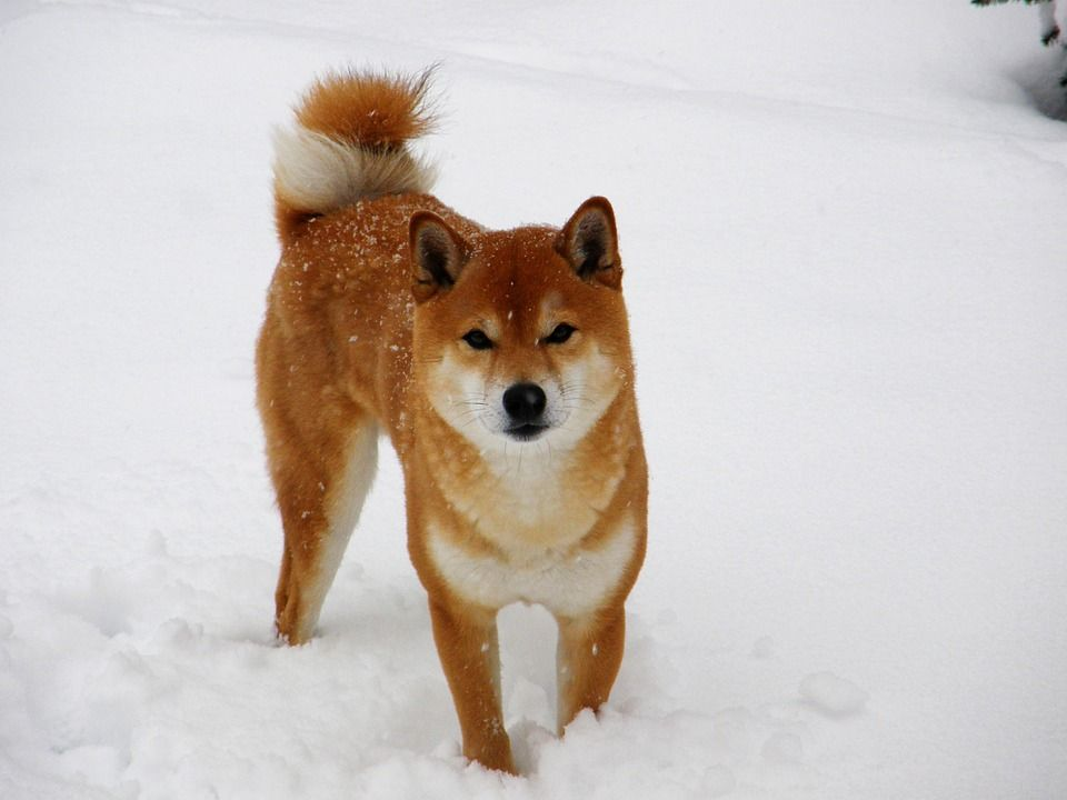 How Much Do Shiba Inus Puppies Cost