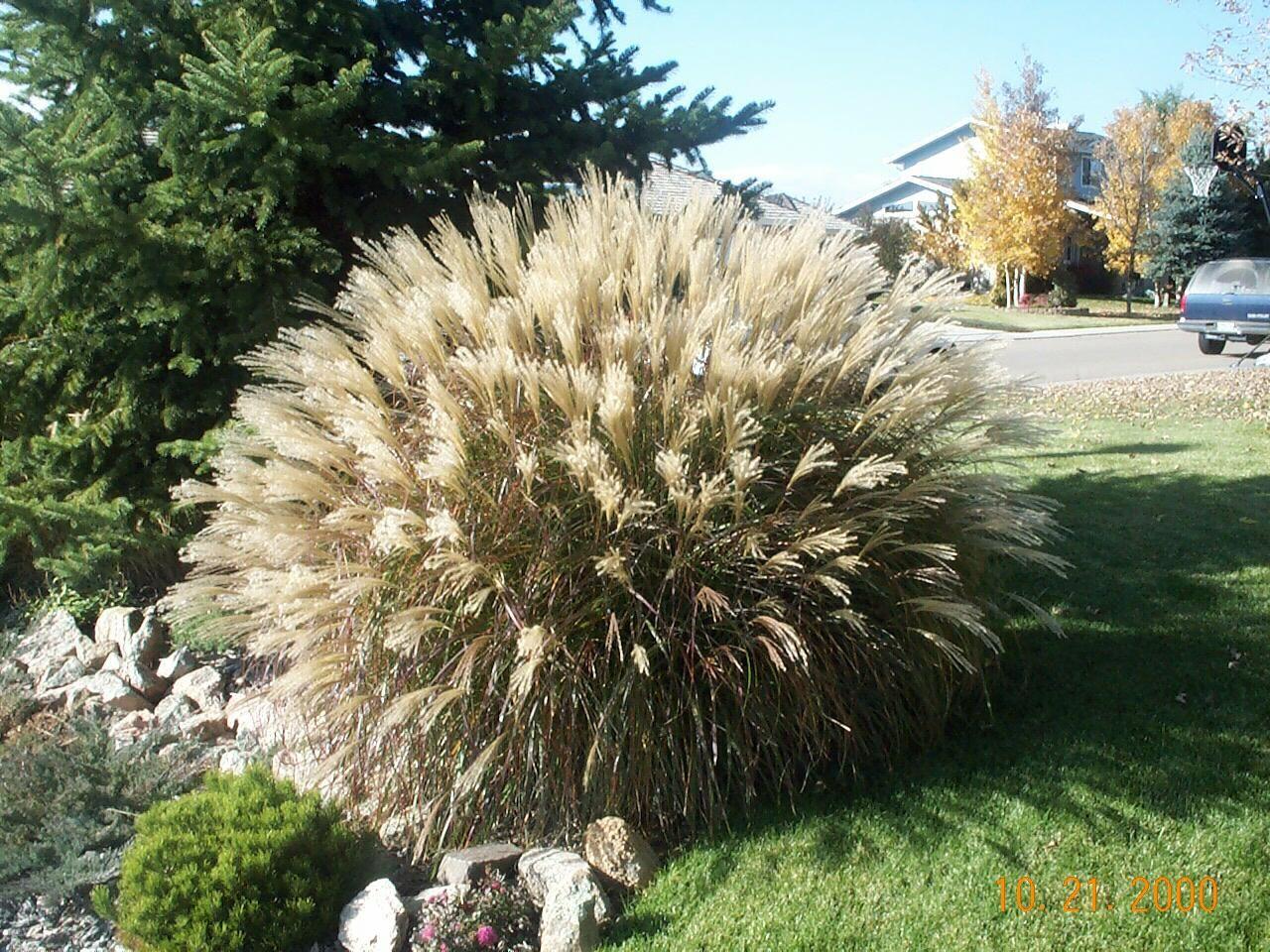 Ornamental grass landscaping ideas pinterest grasses ornamental grass workwithnaturefo