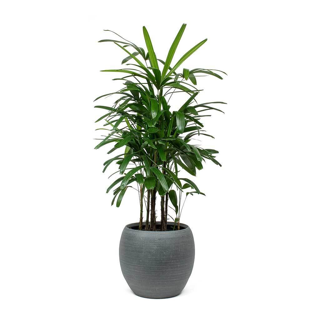 Rhapis excelsa Lady Palm Indoor plants, Palm house plants