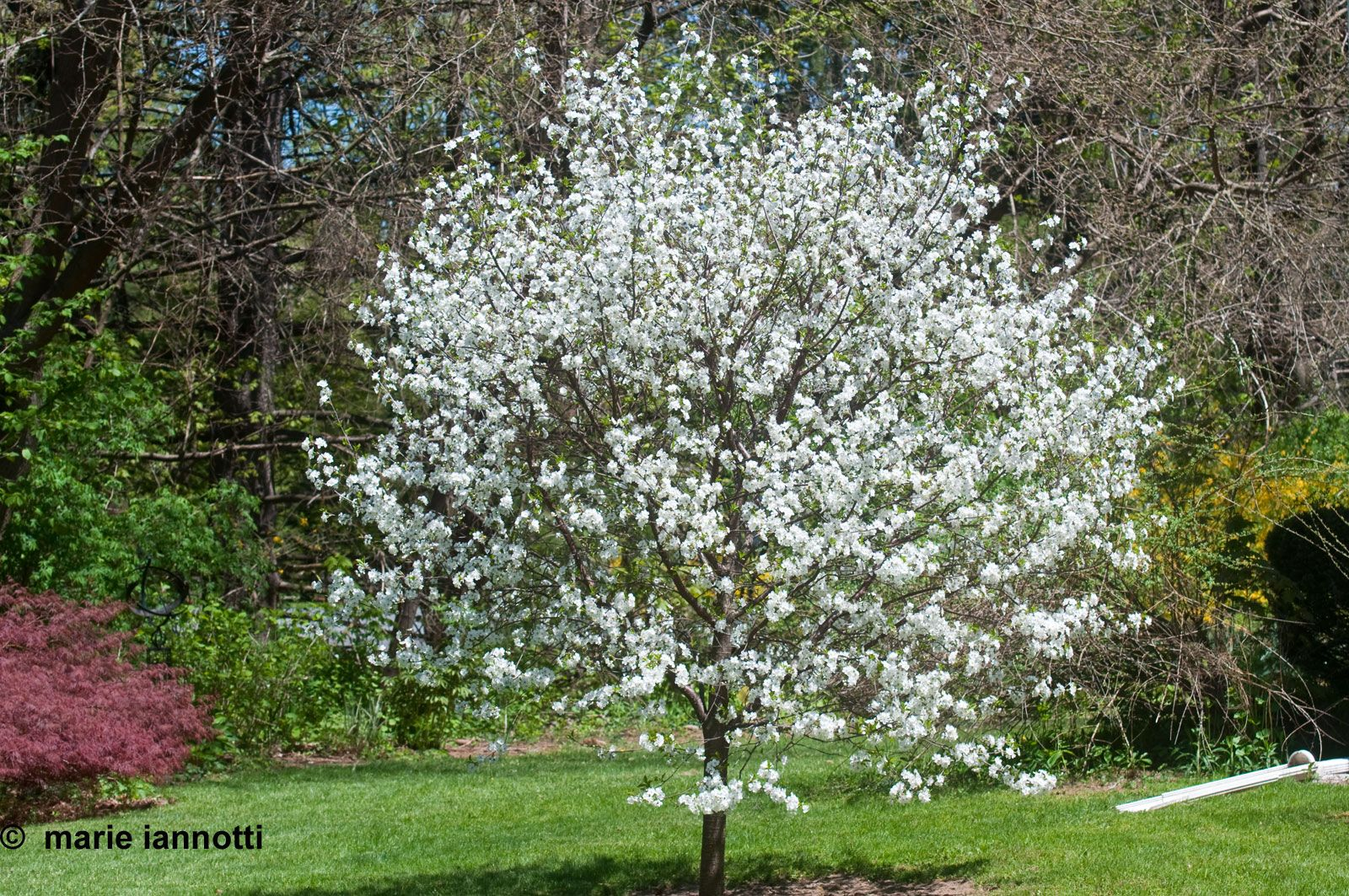 This Little Sour Cherry Was A Gift To My Husband When He Directed The Cherry Orchard The Birds Think It Was A Fruit Trees Sour Cherry Tree Modern Landscaping