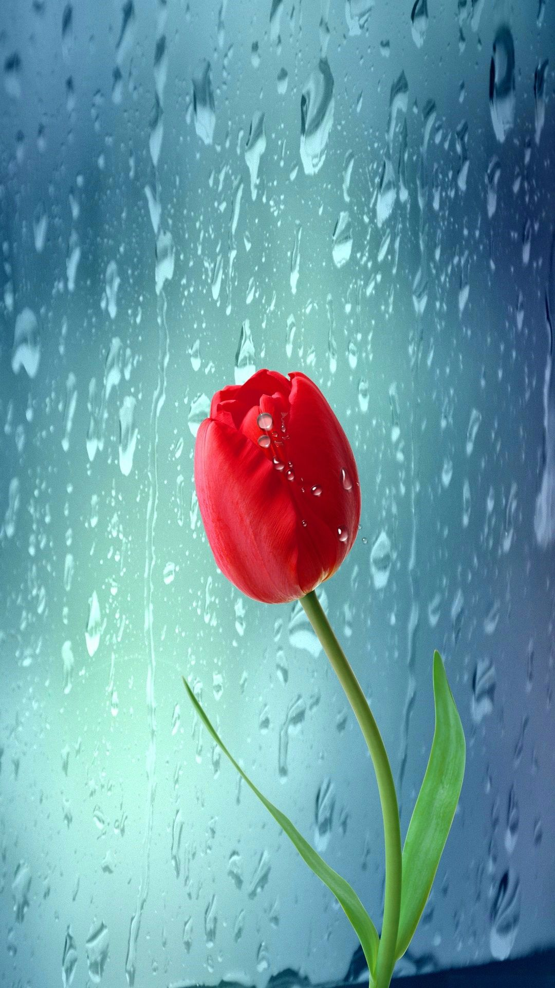 A Tulip Next To A Window Mobile HD Wallpaper Vactual