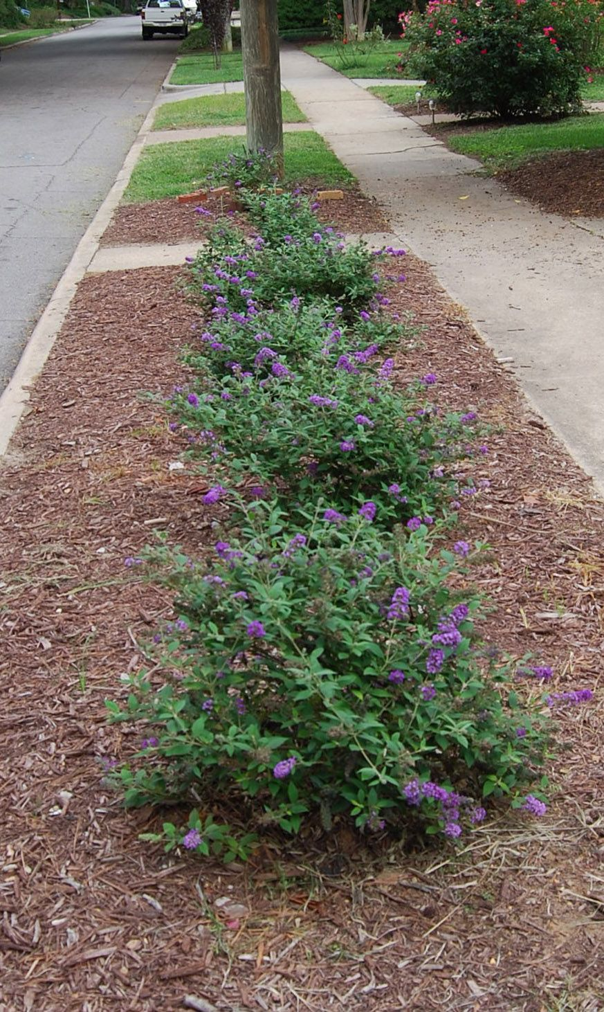 Blue Chip Buddleia Hedge Front House Landscaping Deer
