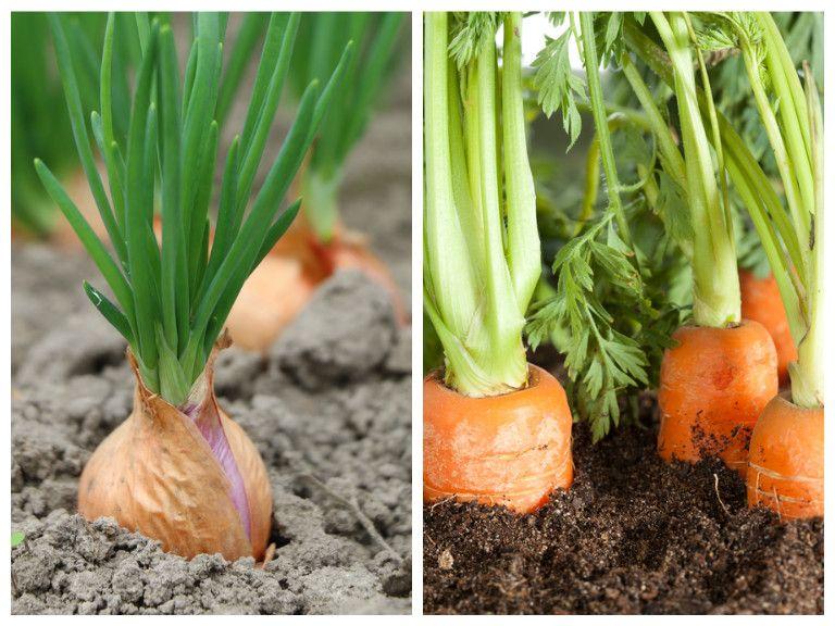 Onions And Carrots Companion Planting Companion 400 x 300