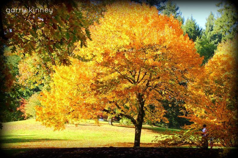 big leaf maple.......fall 2013