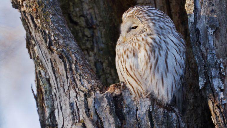 Ural Owl Perching In Nest Cavity Hokkaido Japan Owl Photos Owl Pictures Owl