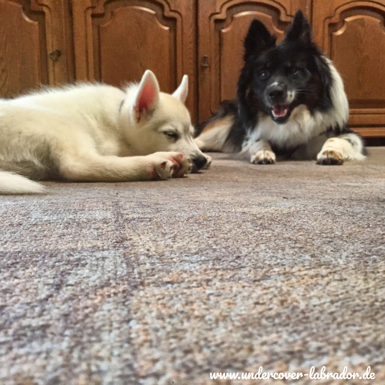 Wie wird mein Hund stubenrein? Undercover Labrador Dog