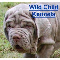 A Wild Child Siberian Mastiff Mastiffs