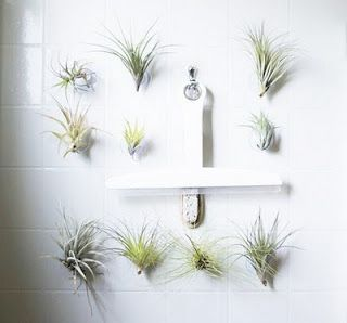 Air Plants In Shower Room Via Suction Cups Bathroom Plants Shower Plant Air Plants