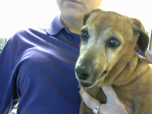 Dachshund Dog For Adoption In Fayetteville Nc Adn 523332 On