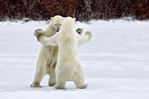 #polar_bears #dancing #snow