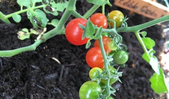 育て ミニ 芽 わき トマト 方