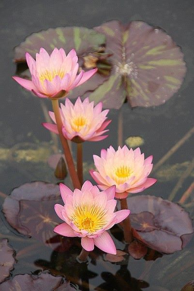 163 beautiful types of flowers a to z with pictures water lilies there are so many different types of flowers from around the world this list offers some of the most popular that have their own spectacular features mightylinksfo
