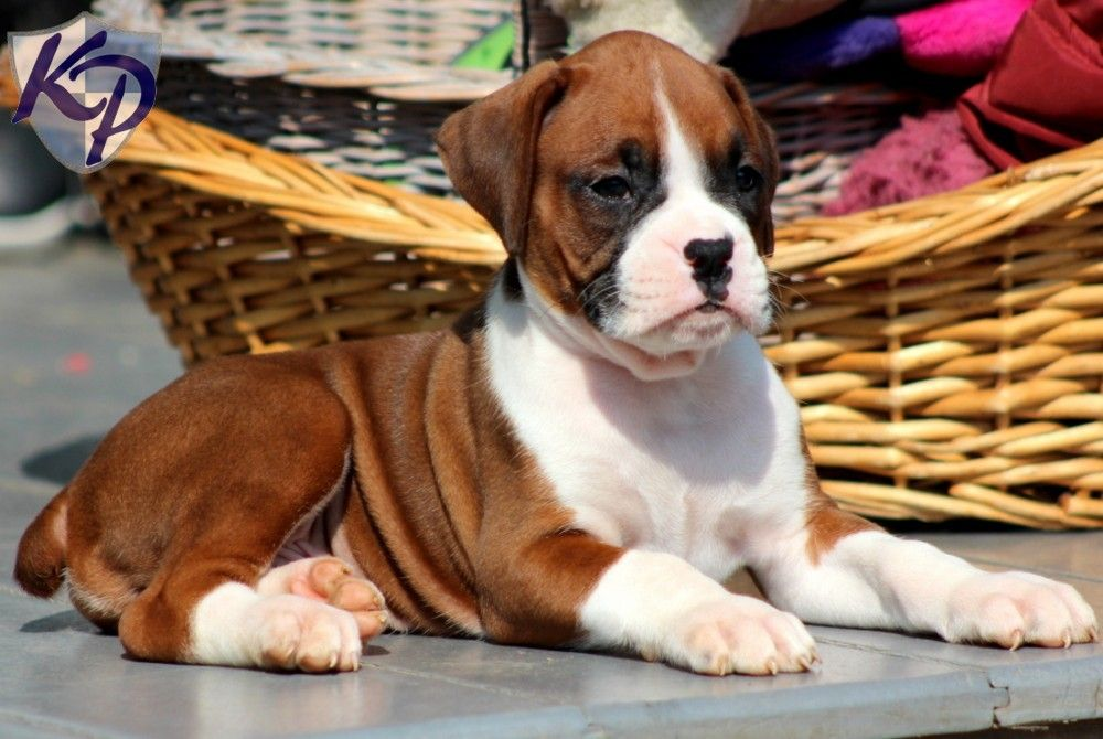Puppy Finder Find Buy A Dog Today By Using Our Petfinder Boxer Puppies Boxer Dogs Boxer