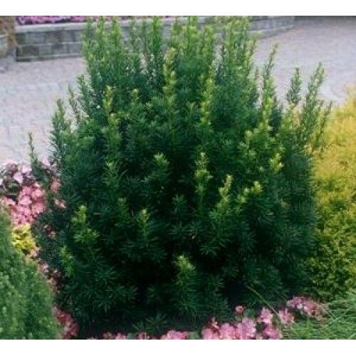 Hills Yew Full Sun To Shade H 4 W 3 5 Zone 5 9 Smaller Yew Good For Borders Landscaping With Rocks Front Yard Landscaping Plants