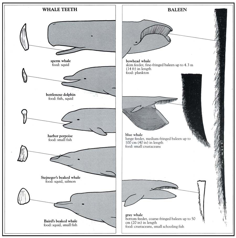 Whale tooth diagram all kind of wiring diagrams teeth vs baleen amazing animals pinterest teeth majestic rh pinterest com tiger tooth whale tooth scrimshaw appraisal ccuart Images