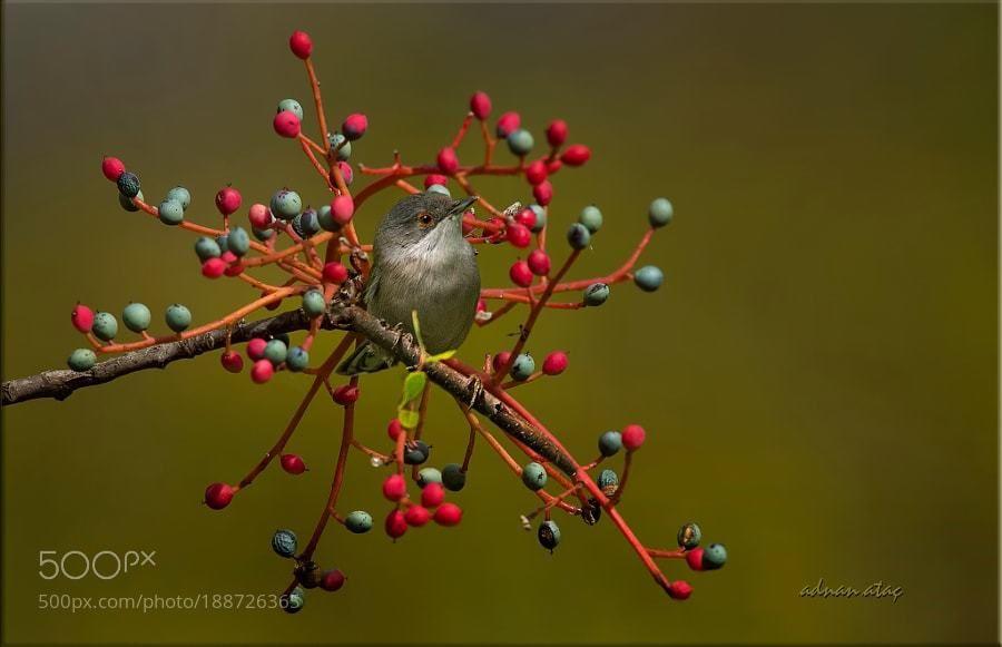 #photography Maskeli ötleğen - Sardinian Warbler - Sylvia melanocephala by aatac https://t.co/m4Ns23LSJm #followme #photography