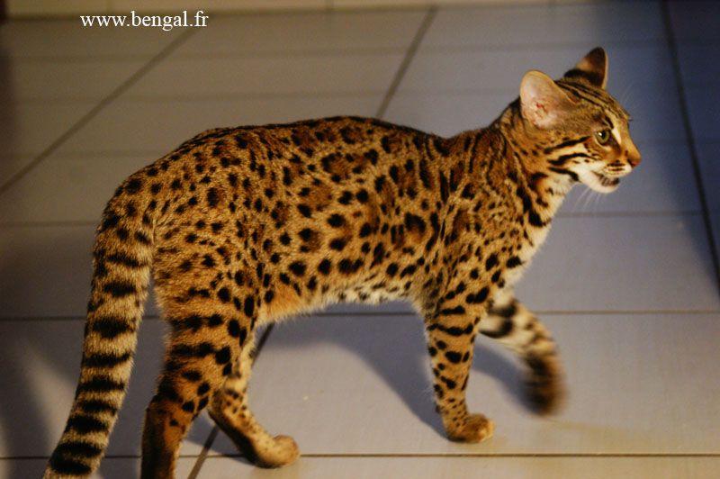 Chat du bengal adulte recherche google chien - Chat du bengal gratuit ...