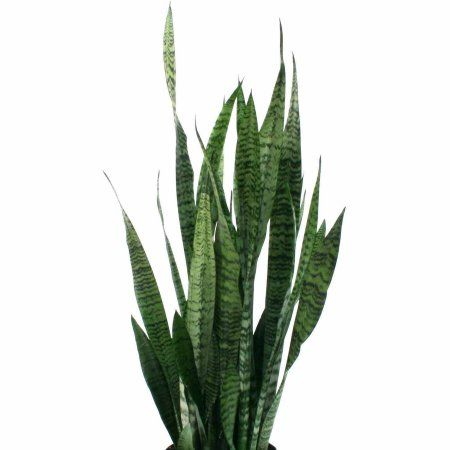 Patio Garden With Images Plants Snake Plant Sansevieria