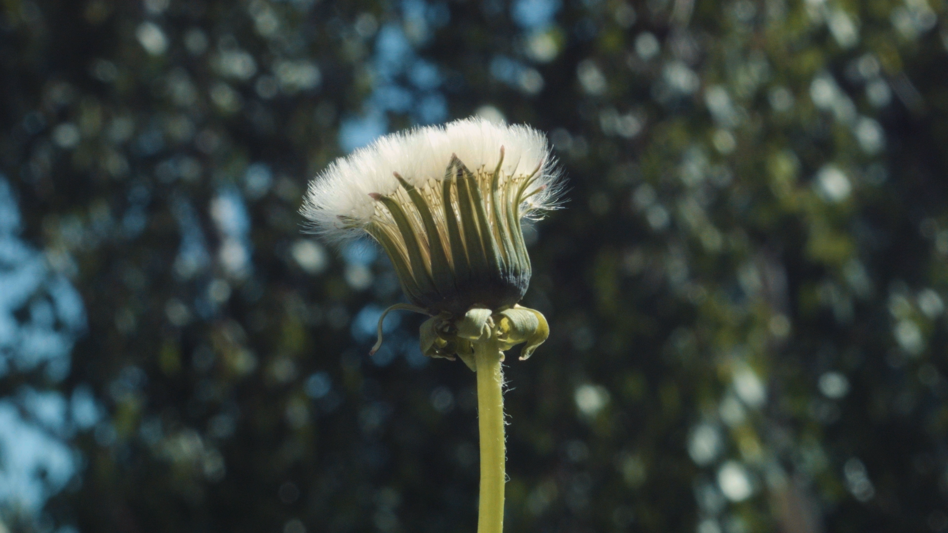 Time Lapse Video Of A Dandelion Flower Blooming Outdoors Blooming Dandelion Flower Lapse Outdoors Time Vi In 2020 Dandelion Flower Macro Flower Flower Aesthetic