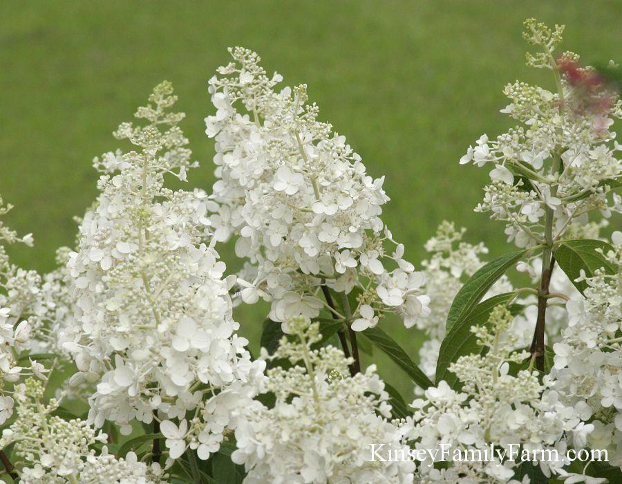 Hydrangea Paniculata Baby Lace Planting Hydrangeas Plant Sale Hydrangea