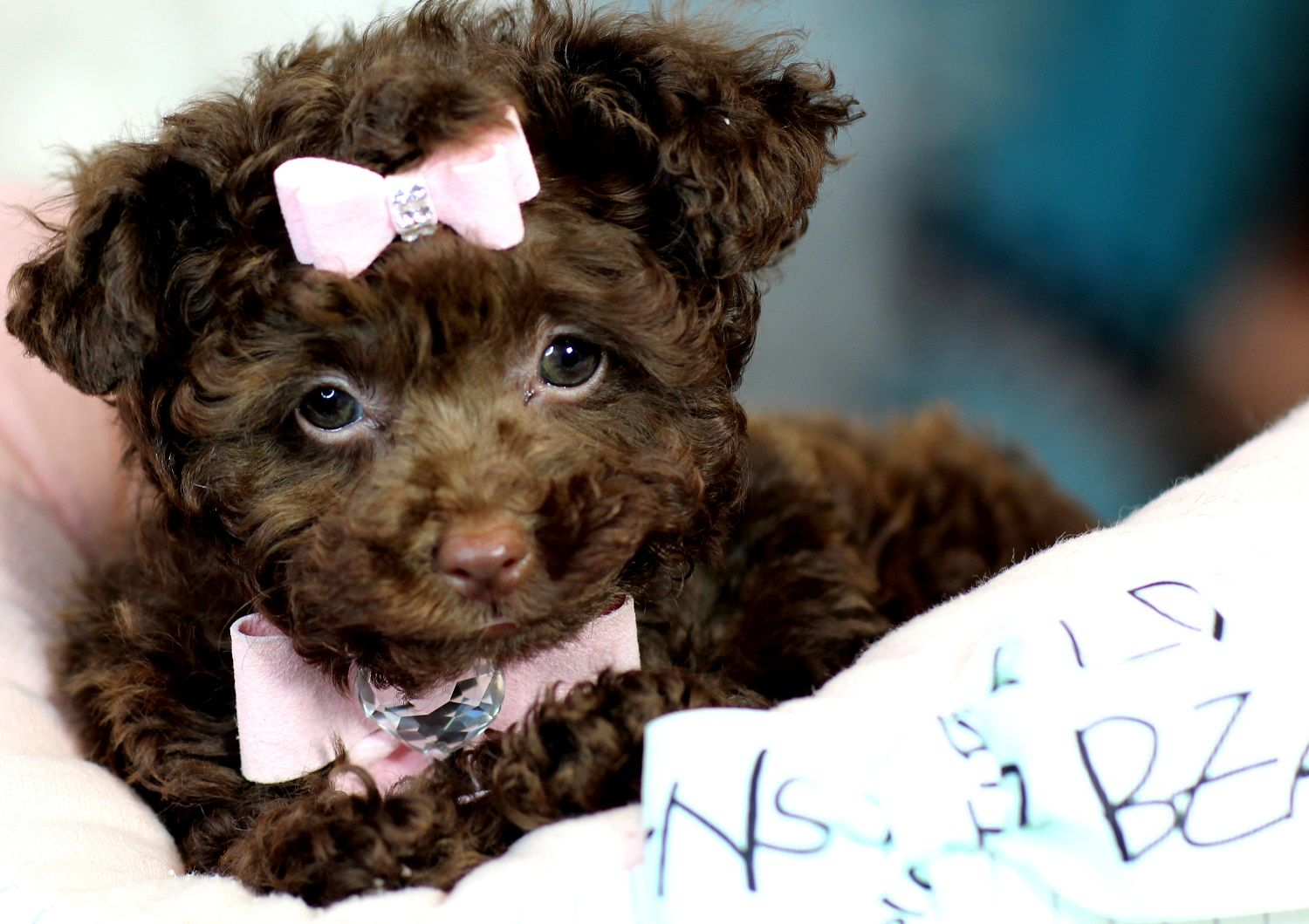Teacup Poodles Bring This Perfect Baby Home Today