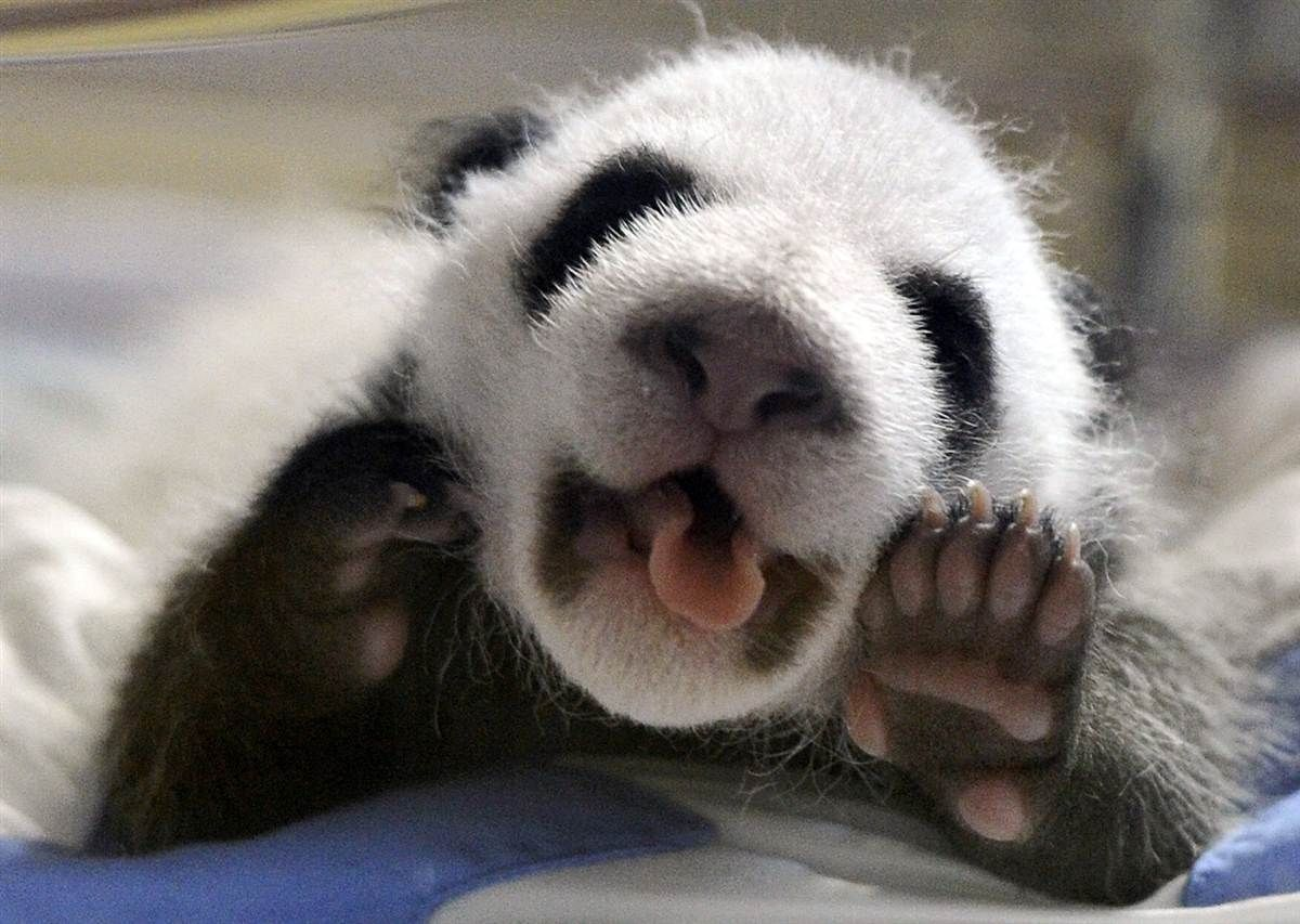 One of the newborn twins panda cubs grimaces in their incubator at Spain's Madrid Zoo. The two panda cubs, born on Sept. 7, are the first giant panda twins to be conceived using the artificial insemination method outside of China.