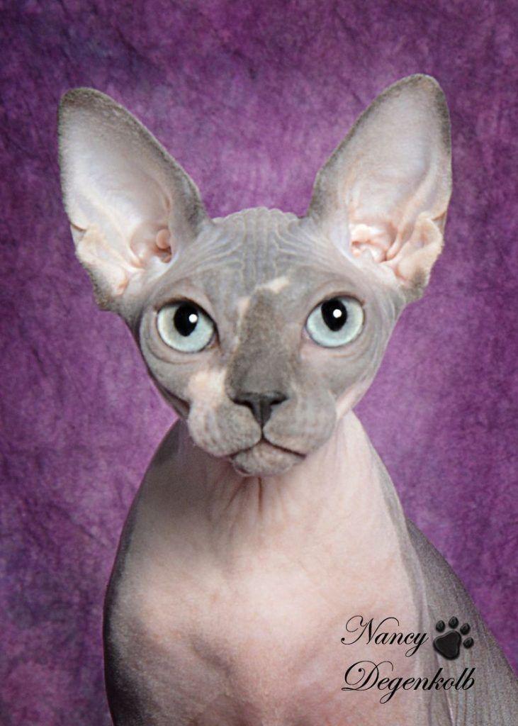 D Nile Sphynx Burmese Cat Cat Breeder Burmese Kittens