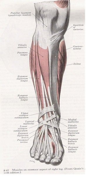 surface anatomy of hip leg - Google Search   Legs   Pinterest   Legs ...