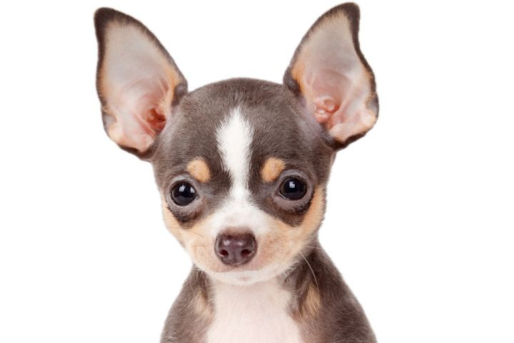Ay Chihuahua New York Overrun By Tiny Dogs Chihuahua Dogs